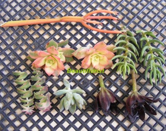 10 Assorted Succulent Cuttings set B