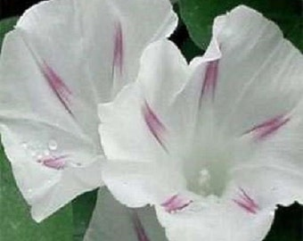 "25+ Morning Glory ""Shiva"" / Perennial Flower Seeds"