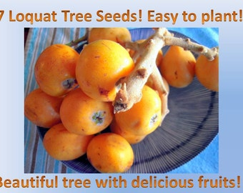 Free Shipping! 7 Loquat tree seeds from Portugal! Great tree with Delicious fruits!