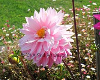 Light Pink Dahlia Photograph