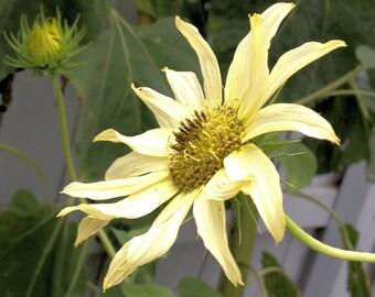 Helianthus annuus 'Italian White' 10 Seeds