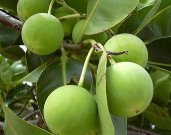 Raw Virgin Tamanu Oil- 15mL+ - Grandma's Home 100% Pure and Natural Theraputic Aromatherapy Grade Carrier Oils