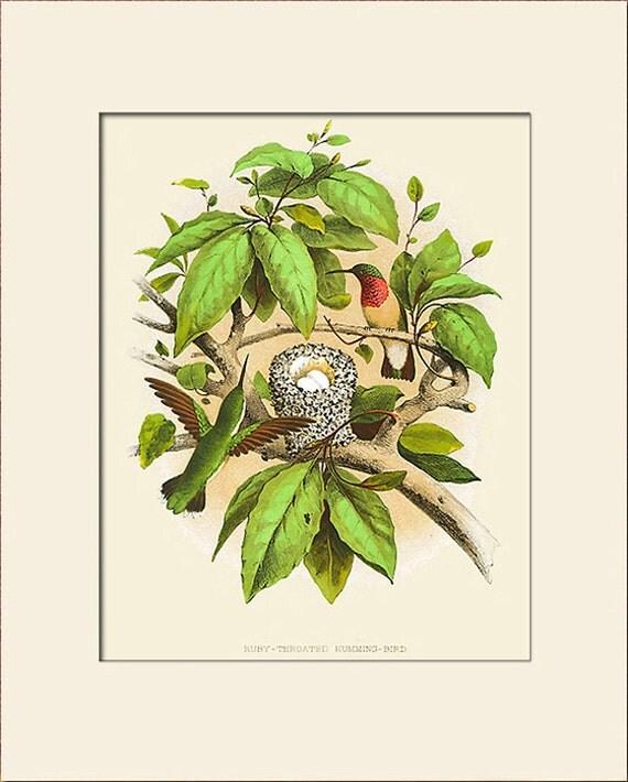 Ruby-Throated Humming Bird Print, Bird Nest Print, Thomas Gentry, Art Print with Mat, Natural History Illustration, Wall Art