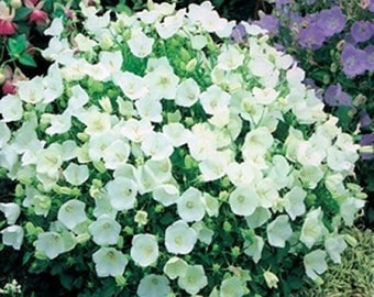 Campanula Carpatica White 100 Seeds- Blooms allsummer long,perennial,