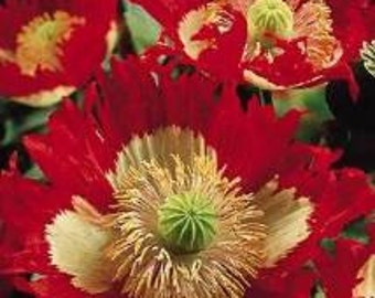 Papaver, Poppy Danish Flag 100 Seeds