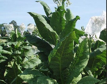 Tobacco plant Seeds - Virginia Gold Organic  (200+ seeds)