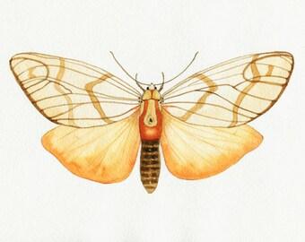 Veined Tiger Moth // archival print