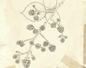 Blackberry Vine   botanical illustration   fine art print