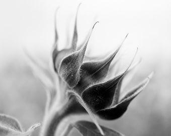 Waking Sunflower -- black and white photograph