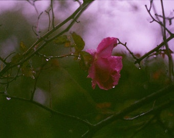 Undress -  original fine art film photograph of a dark pink English rose in the rain at dusk. HALF PRICE SALE