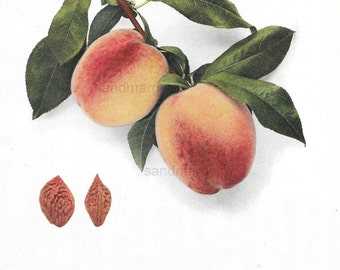 Antique Greensboro North Carolina Peach  Chromolithograph Botanical Print