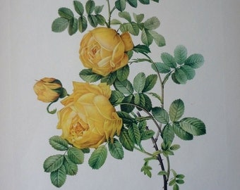 Yellow Roses Pierre Joseph Redoute 1954 Original Vintage Print #2 - Cottage Chic - EnglishPreserves