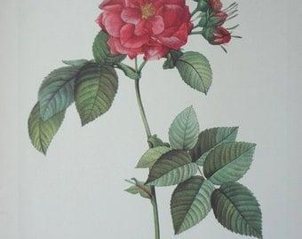 Roses 1954 Vintage Print Pierre Joseph Redoute #9 - Cottage Chic - EnglishPreserves