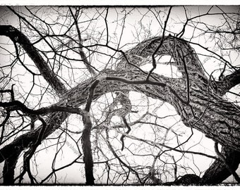 Tree Photo, Black and White Fine Art Print,  Below Walnut Tree Branches, Modern Grunge Style Vintage Effect Archival Photo, Nature Wall Art