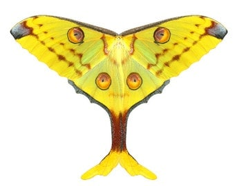 Comet Moth Costume Fabric Panel, 100 inch Wingspan, Madagascan Moon Moth, Argema Mittrei