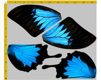 2 Yards of Large Scale Blue Swallowtail Butterfly Fabric - Papilio Ulysses, 100% Cotton Woven