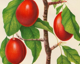 1892 Antique Botanical Print - Sophie Plum - Vintage Chromolithograph - Dated