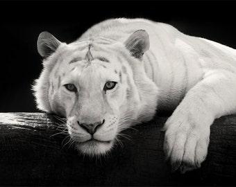 White Tiger Photo - 11x14 Black and White Tiger Photography Print - Minimal Animal Art