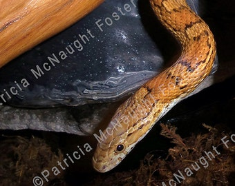 Digital Download Stock Photo of Golden Corn Snake
