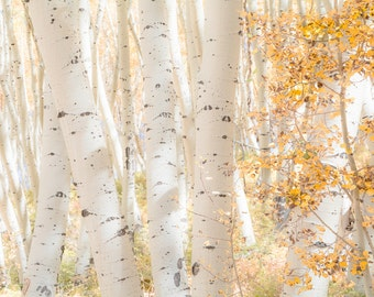 Aspen Trees White Soft Light Autumn Forest Leaves Fall Colorado October Rustic Cabin Lodge Photograph