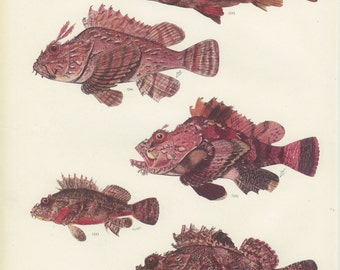 Flasher Scorpionfish, Humpbacked, Raggy, Weedy Stingfish, Cabrilla, Vintage Fish Print 85, 1951, M Smith, Ichthyology, Natural History