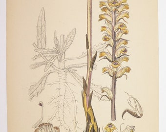 Yellow Brown Flower Print, Vintage Garden Art Gift for Her, 1866 Sowerby Botanical, Antique Botanical Print, Broom-Rape Flower Garden Decor