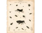 1814 LOUSE & FLEA ENGRAVING original antique insect bug print