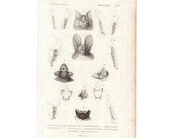 1836 ANTIQUE BAT HEADS print original antique bat anatomy engraving - Vampire Java bats halloween art -