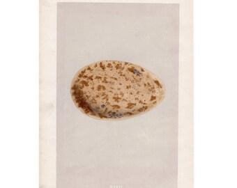 1875 ANTIQUE EGG LITHOGRAPH - original antique hand colored print of eggs - egg print - birds egg art