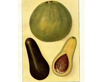 1911 ANTIQUE FRUIT LITHOGRAPH avocado original antique fruit & vegetable food lithograph print