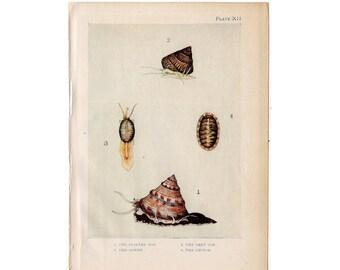 c. 1907 ANTIQUE SEA LIFE lithograph - original antique print - sea life marine beach ocean - shells limpet & cowry