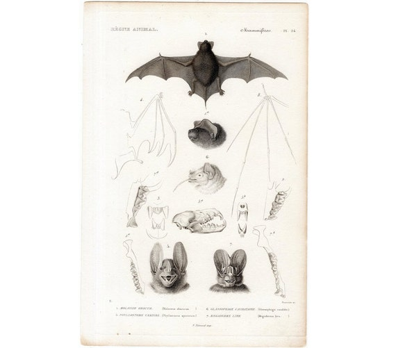 1836 ANTIQUE BATS bat head print print original antique bat anatomy engraving - Vampire halloween art