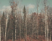 Landscape Photography, Winter Forest, Brown, Blue,Birch Trees, Vintage, Faded, Muted, Nature Photograph, Retro Tones, Michigan
