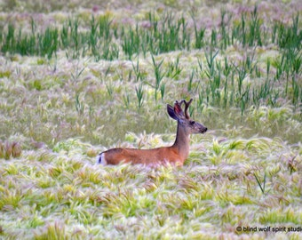 Deer Photography, Summer Sunrise,  Wildlife Photography Fine Art Photo