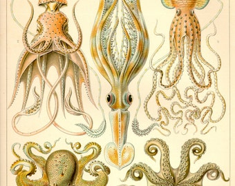 Octopus, Illustration,1898, Archival Quality Print