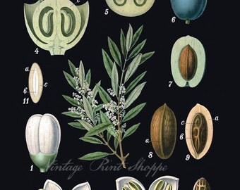 Olive Botanical print Vintage Scientific Illustration reproduction 5x7 art Naturalist decor Home Decor cottage decor 8x10 plant print