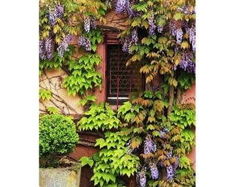 "Fine Art Color Photography of Alsace France - ""Wisteria on Home in Zellenberg 3"""