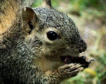 Squirrel Close Up Fine Art Photography 8 x 10 - Dinner Time
