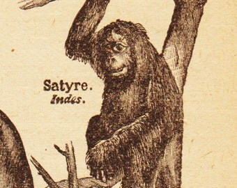 Antique French Print Dictionary Page 1920s Engraved iIlustrations Monkeys Apes Chimps