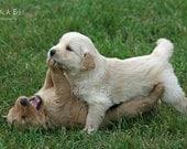 photo card, photo note card, blank card, Dog photo card, Golden Retriever, photo, greeting card, Dog note card, puppy, golden Retriever card