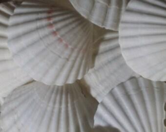 BULK White Baking Scallop Shells for Coastal Decorating/ Arts/ Crafts/ Loose Seashell Supplies/ yellow, pink & orange