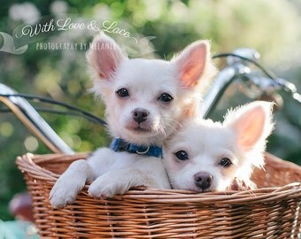 Puppies in bike basket fine art print