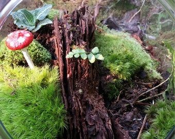 Small Living Moss Terrarium Candy Jar with Mushroom