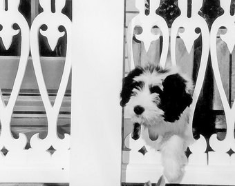 Bearded Collie Greeting Card Puppy on Victorian Porch  Dog Photography