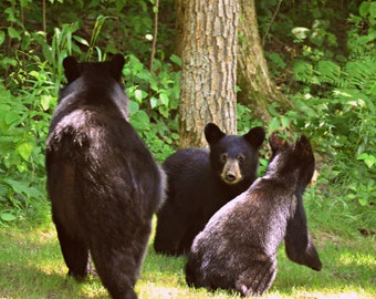 Wildlife Photography bear cubs,nature photography,cute cubs,wild animals,mama bear and cubs,forest,fine art photography,wildlife decor,bears