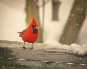 Fine Art Photography male cardinal,ruby red,home decor,bird photography,winter,snow,gift,cardinal in winter snow,nature decor,deep red bird