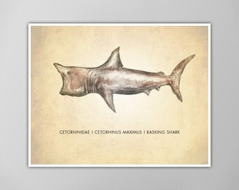 Basking Shark Art Print, Shark Art Print, Natural History Poster, Natural History Shark Scientific Print, Basking Shark Art Print, Shark