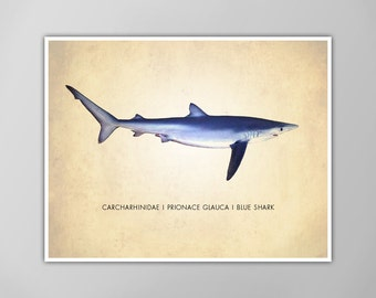 Blue Shark Art Print, Shark Art Print, Shark Art Print, Natural History Poster, Natural History Shark Scientific Print, Blue Shark Art Print