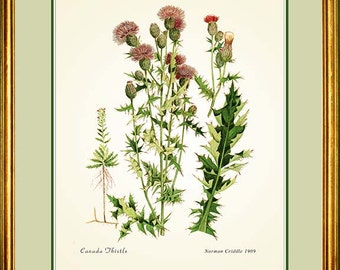 CANADA THISTLE - Botanical print reproduction - 63