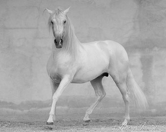 Classical Spanish Stallion - Fine Art Horse Photography - Horse - Black and White - Andalusian - Fine Art Print